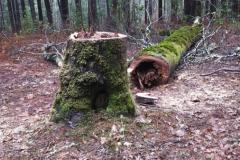 Rotten Dead Tree Hazard