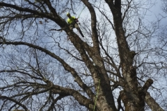 Pruning Services Beeler's Tree Service Oregon