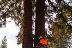 Redwood Trimming Oregon